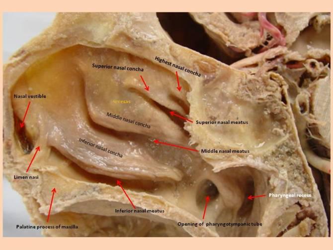 Nasal Cavity | Anatomía Fenestra