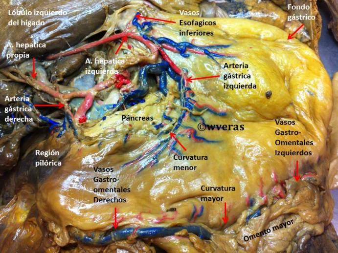 Arterias del Estomago | Anatomía Fenestra